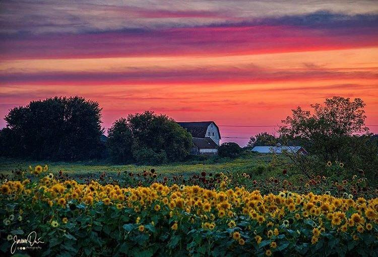 sunflower_sunset